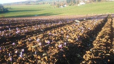 Notre champs de safran, période de floraison. Début d'automne.