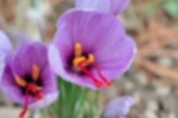 fleur safran.jpg