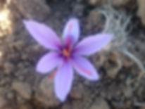 fleurs safran 8-min.JPG