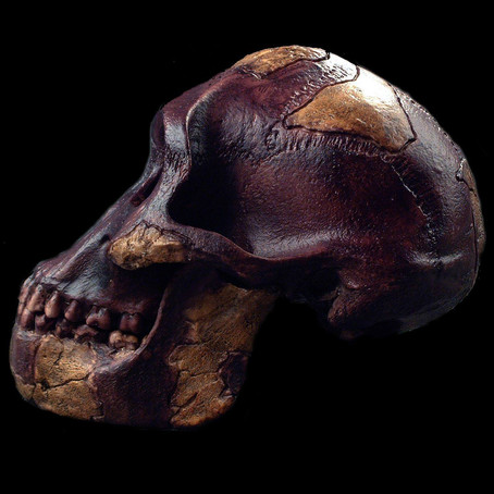 To Boost Brainpower, Ancient Hominins Sought Fat Before Meat.