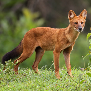 A Note on Dholes