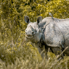 Part 1: Behavioural Ecology of Indian Rhino