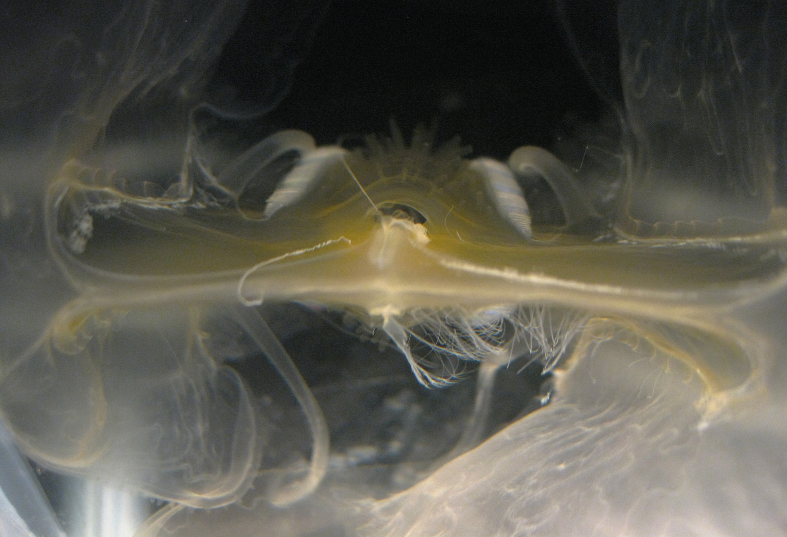 Leucothea multicornis - oral view