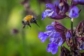 Bumble Bee 04072017-09.jpg