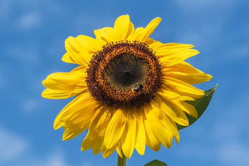 Sun Flower 14082018-01.jpg