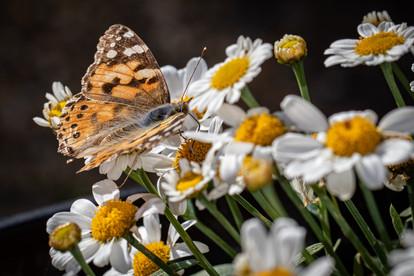 Butterfly 30062019-03.jpg