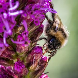 Bumble Bee 15072018-03.jpg