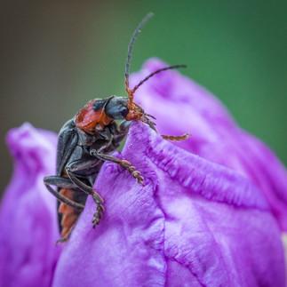Bille Rhododendron 11062016-05.jpg