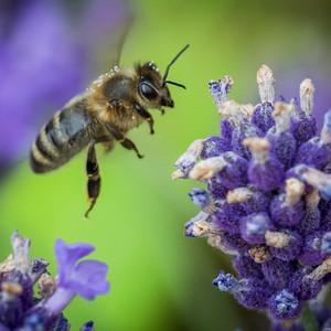 Bee 26072017-04.jpg