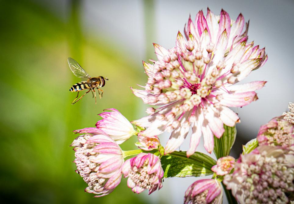 Hover Fly 05072019-04.jpg