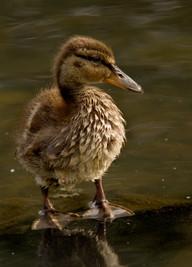Duckling 07072009-06.jpg