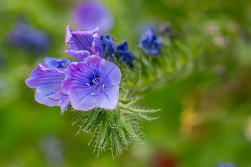 Blue flower 24072016-01.jpg