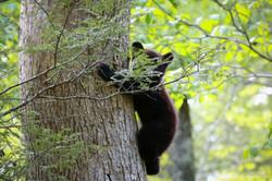 Cades Cove Cub on a tree a