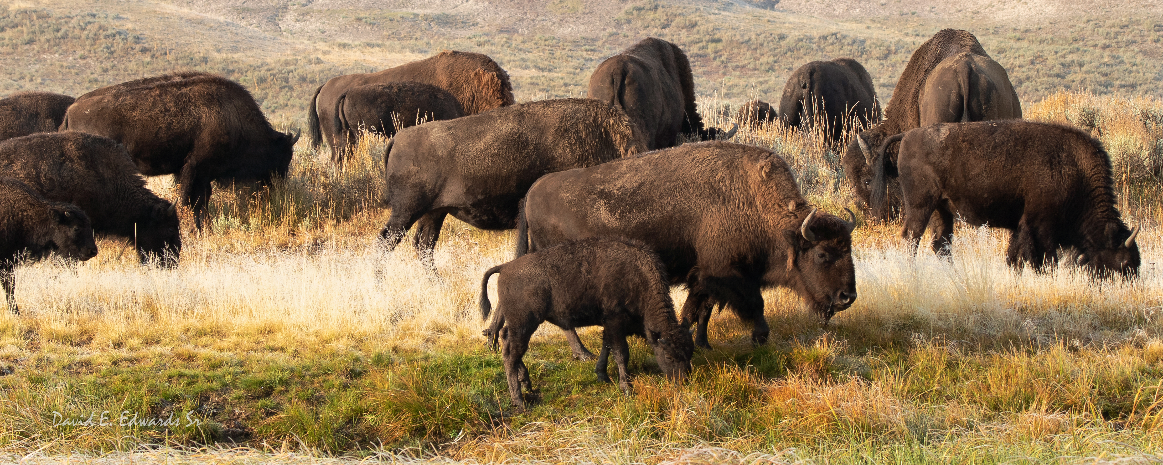 Hayden Valley Bison-  Yellowstone