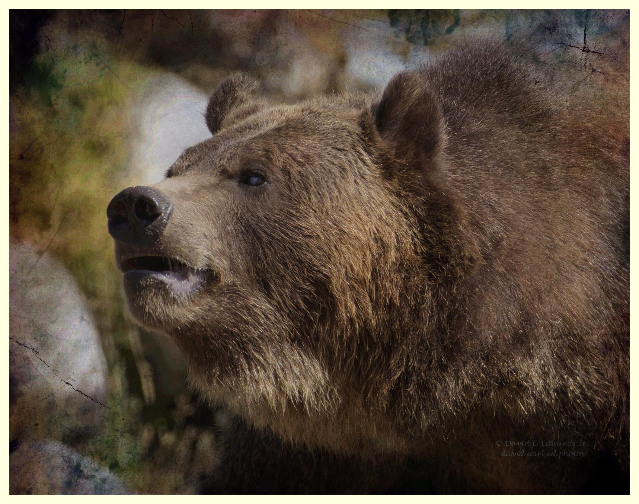 Grizzly Bear Old Post Card