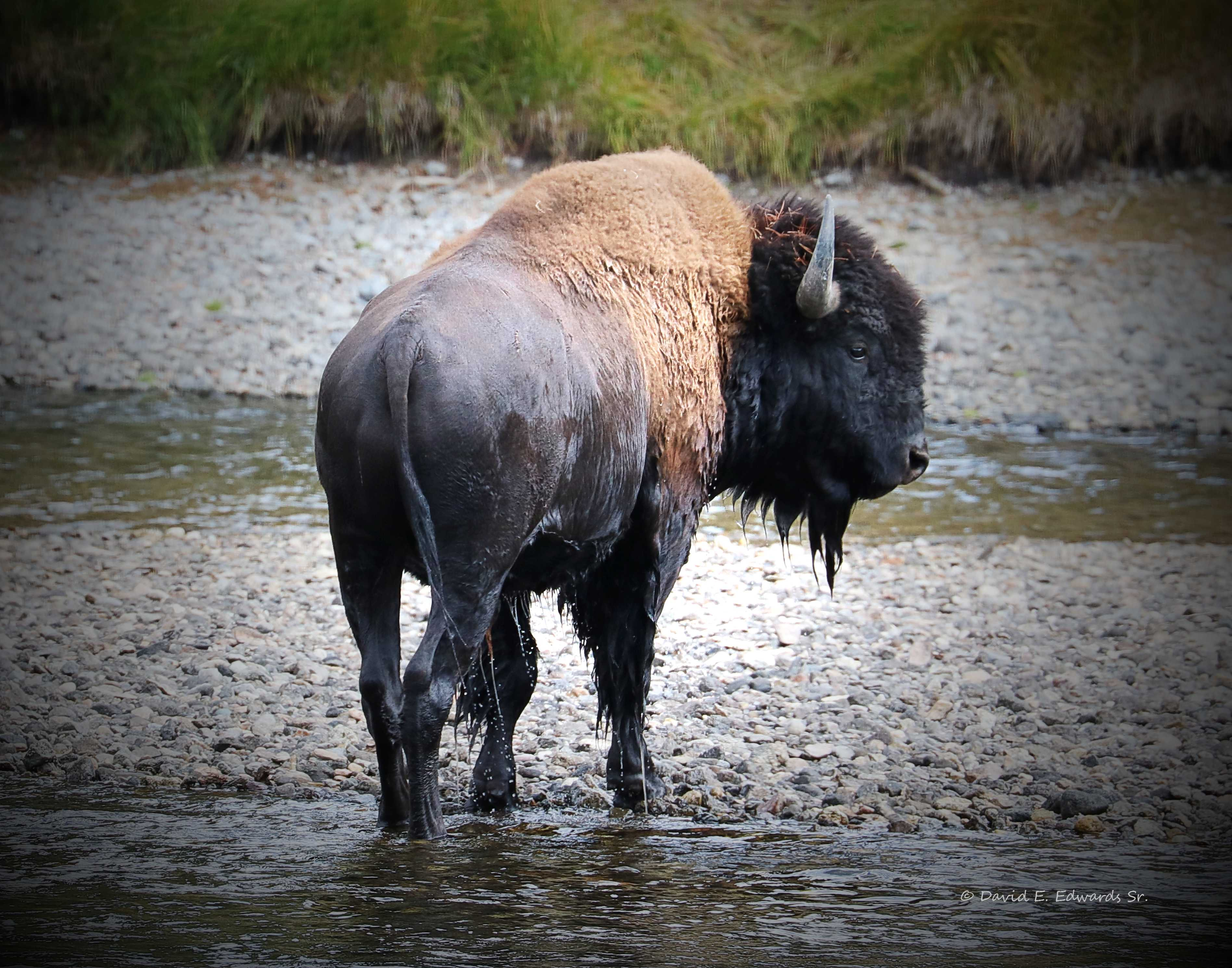 Bison in creek- dark border