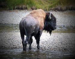 Bison in creek- dark border