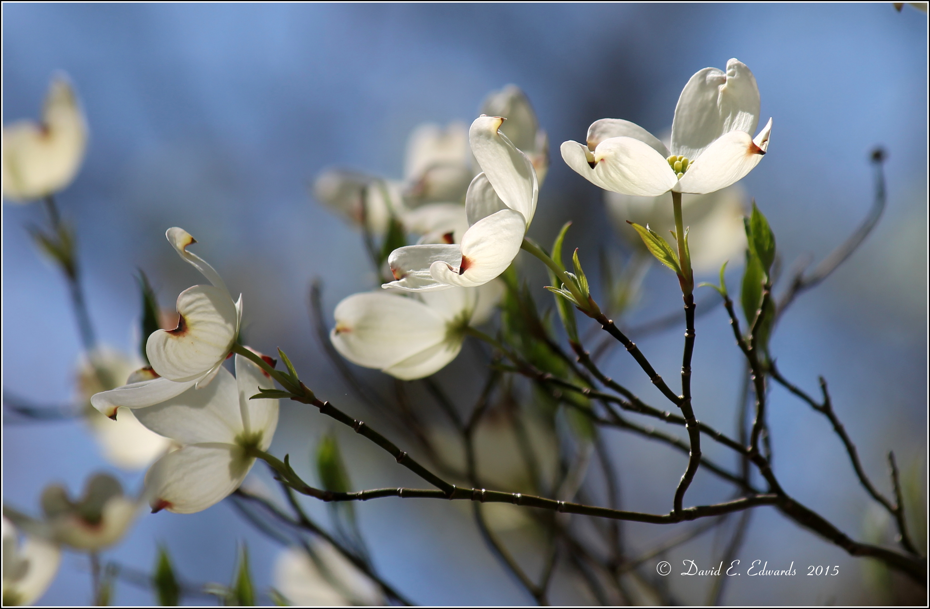 Dogwood on Rich Mountain Road