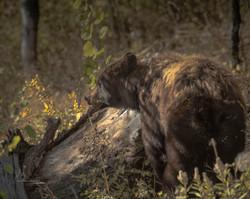 Momma Black Bear-  Teton NP