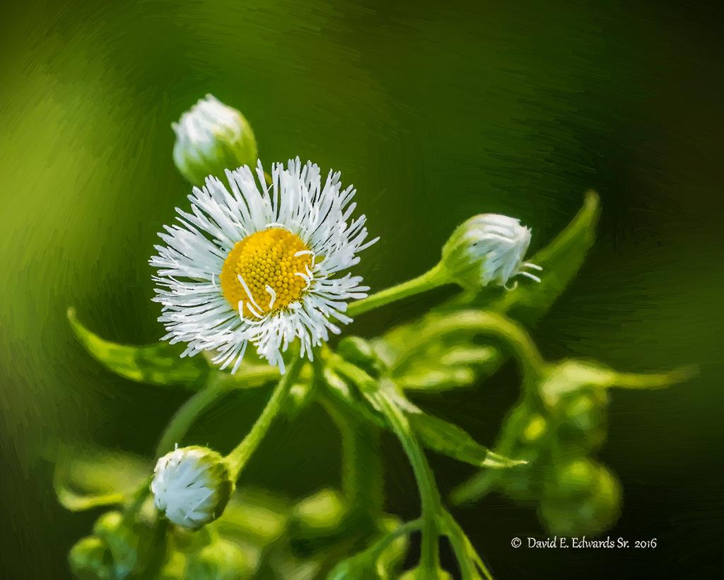 Mountain Wildflower a oil 1