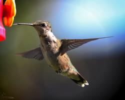 Hummingbird- September 2017