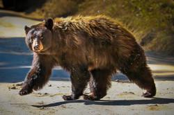 Momma bear crossing the road