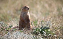 Prairie Dog-  Custer State Park