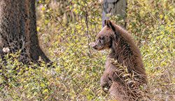Cinnamon Black Bear Cub- Teton NP