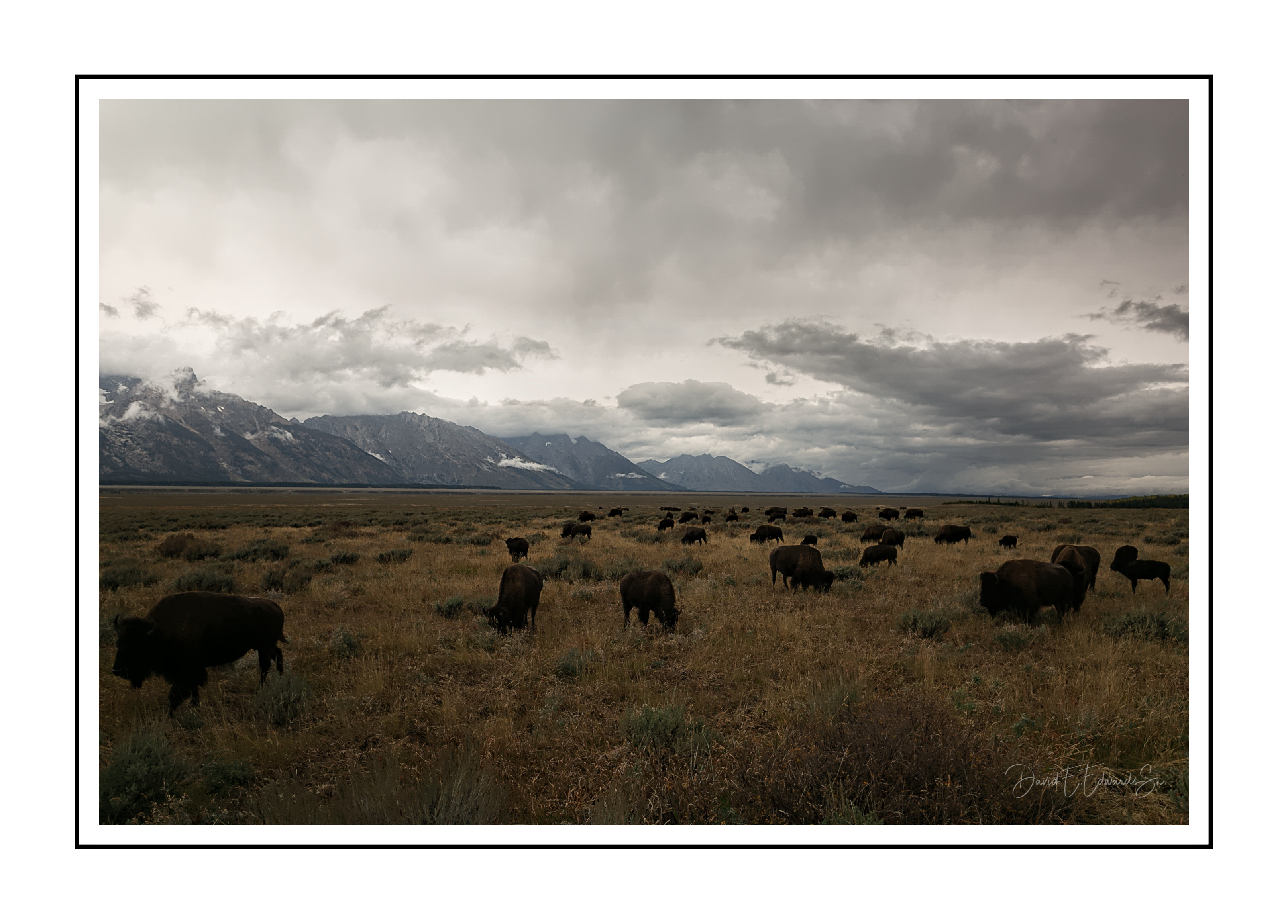 Grazing Bison=  Tetons National Park