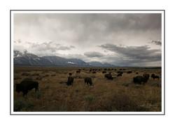 Grazing Bison=  Tetons National Park