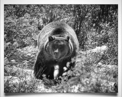 Grizzly near Teton National Park b
