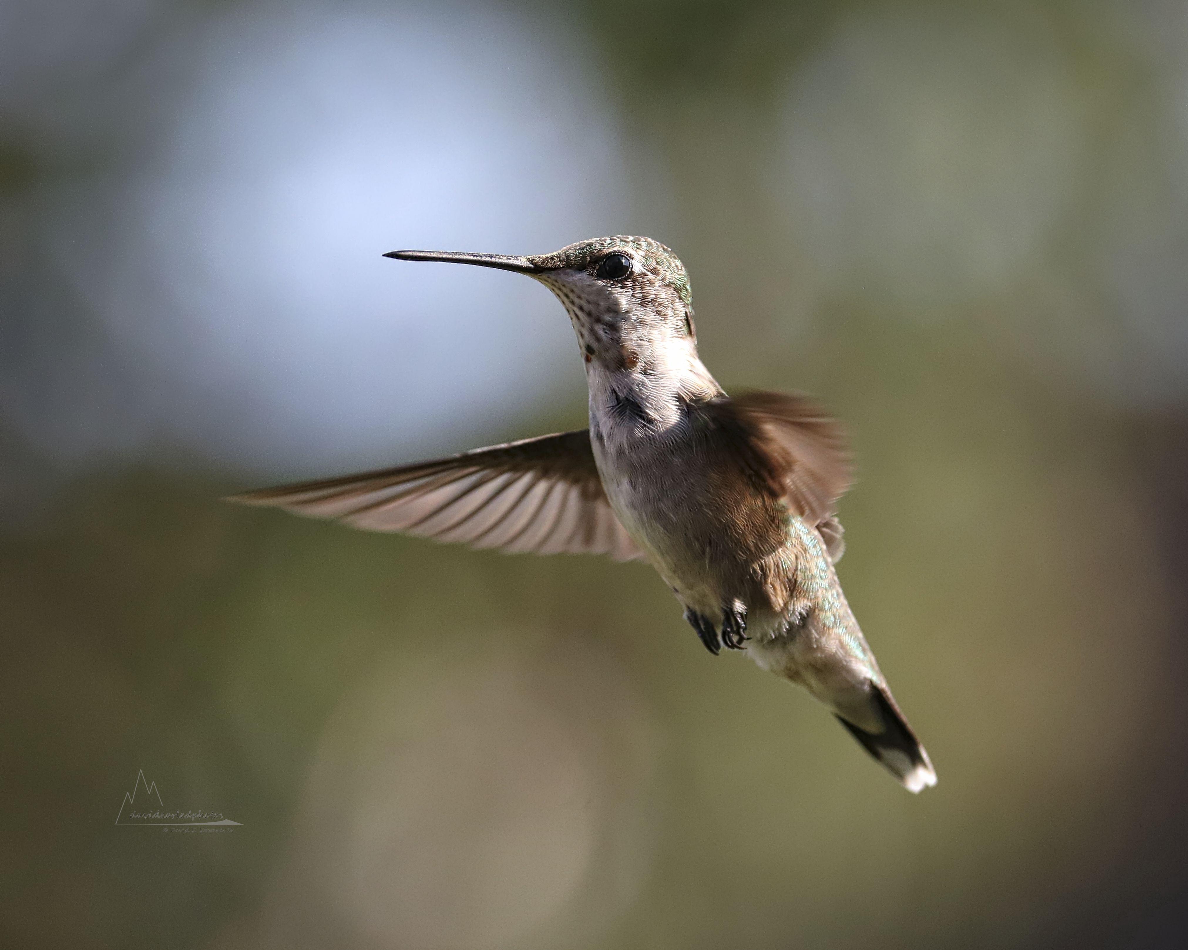 Hummingbird b- September 2017