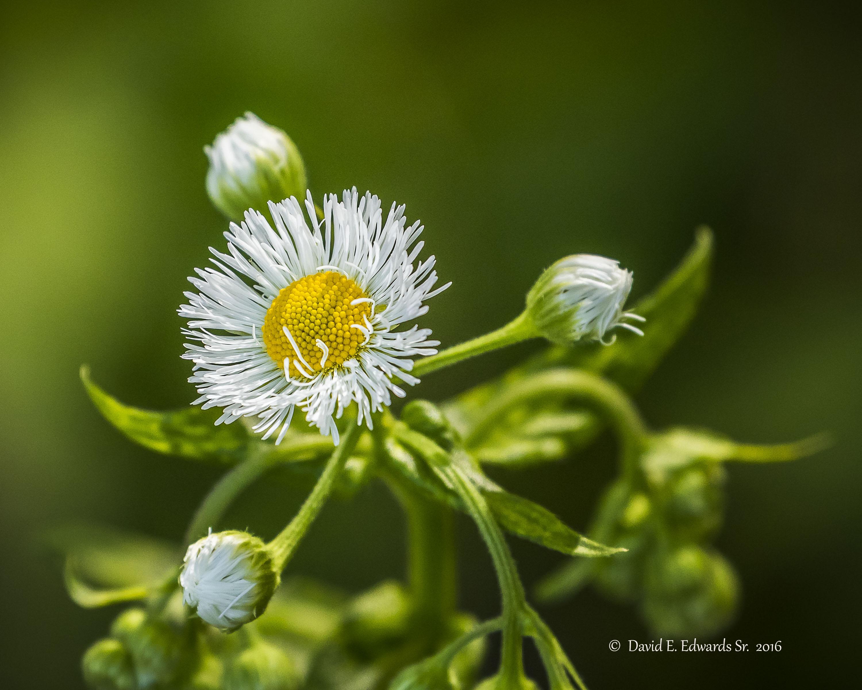 Mountain Wildflower a Photo