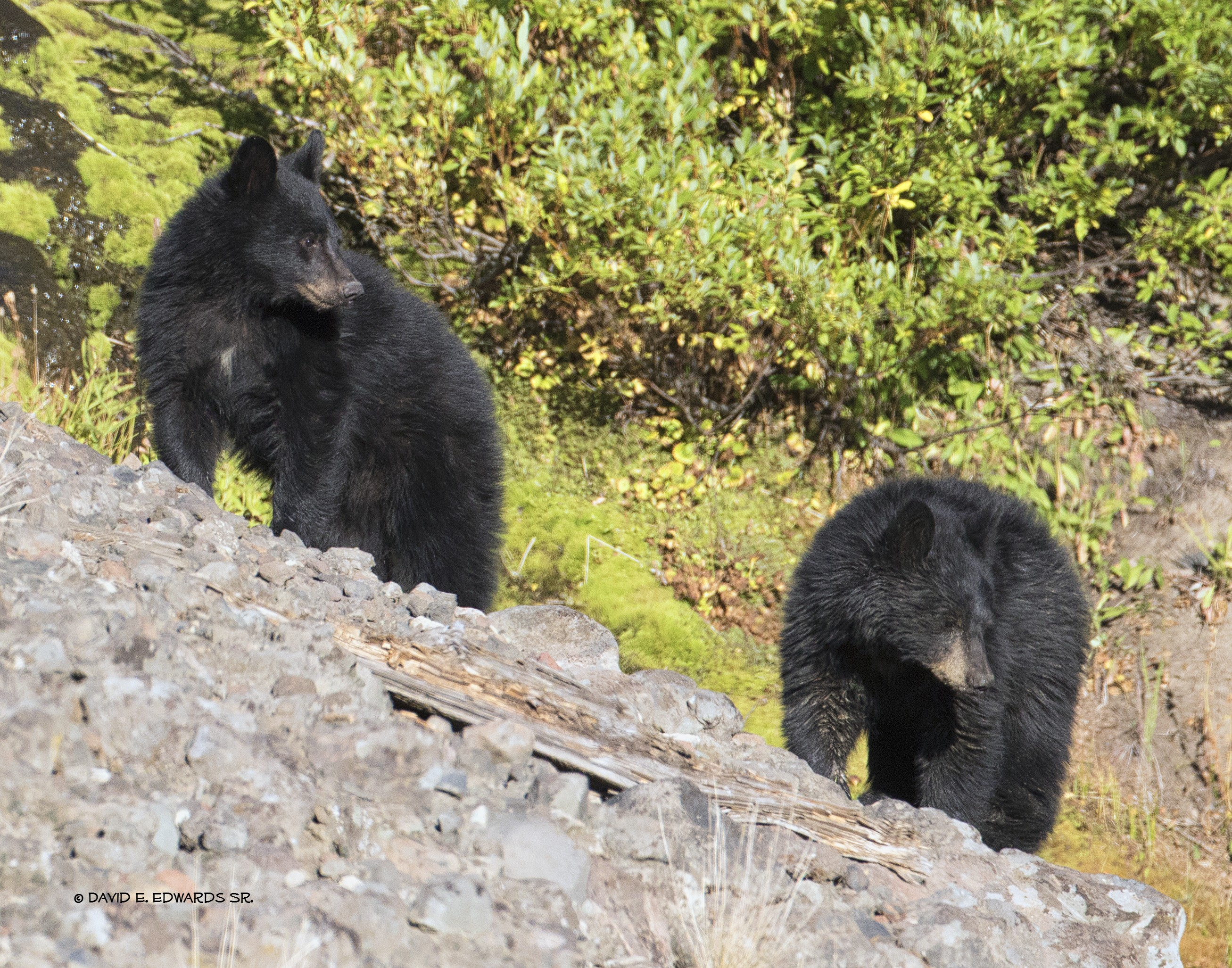 Sibling Black Bears