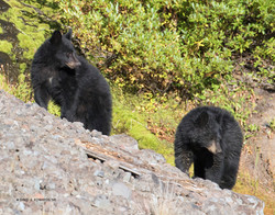 Sibling Black Bears