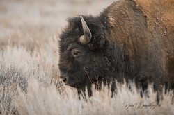 Bison-  Yellowstone-  May 2019