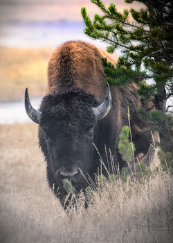 Bison in Yellowstone b