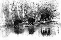 3 Bears Cades Cove B&W Sketch