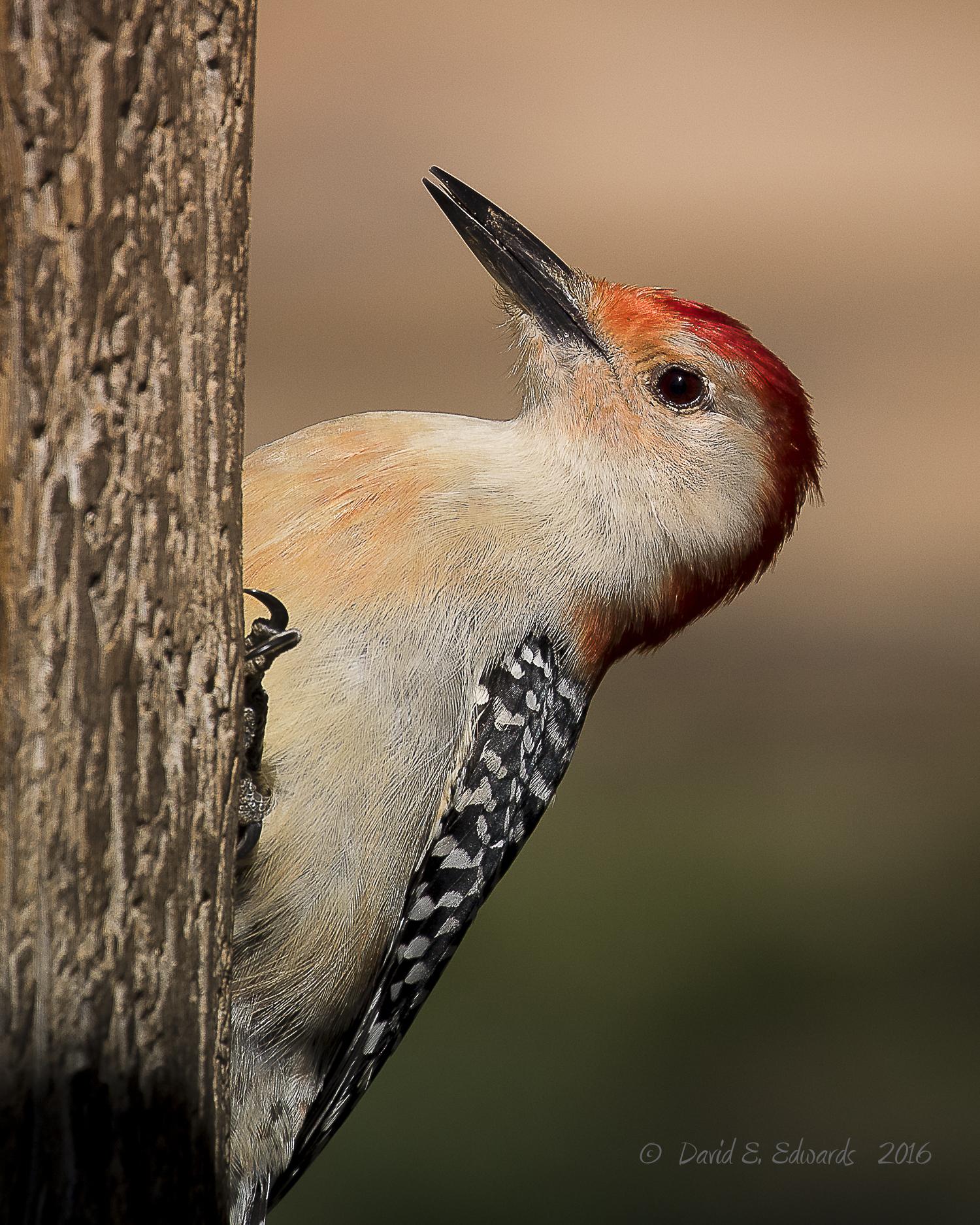 Woodpecker 1 Photo
