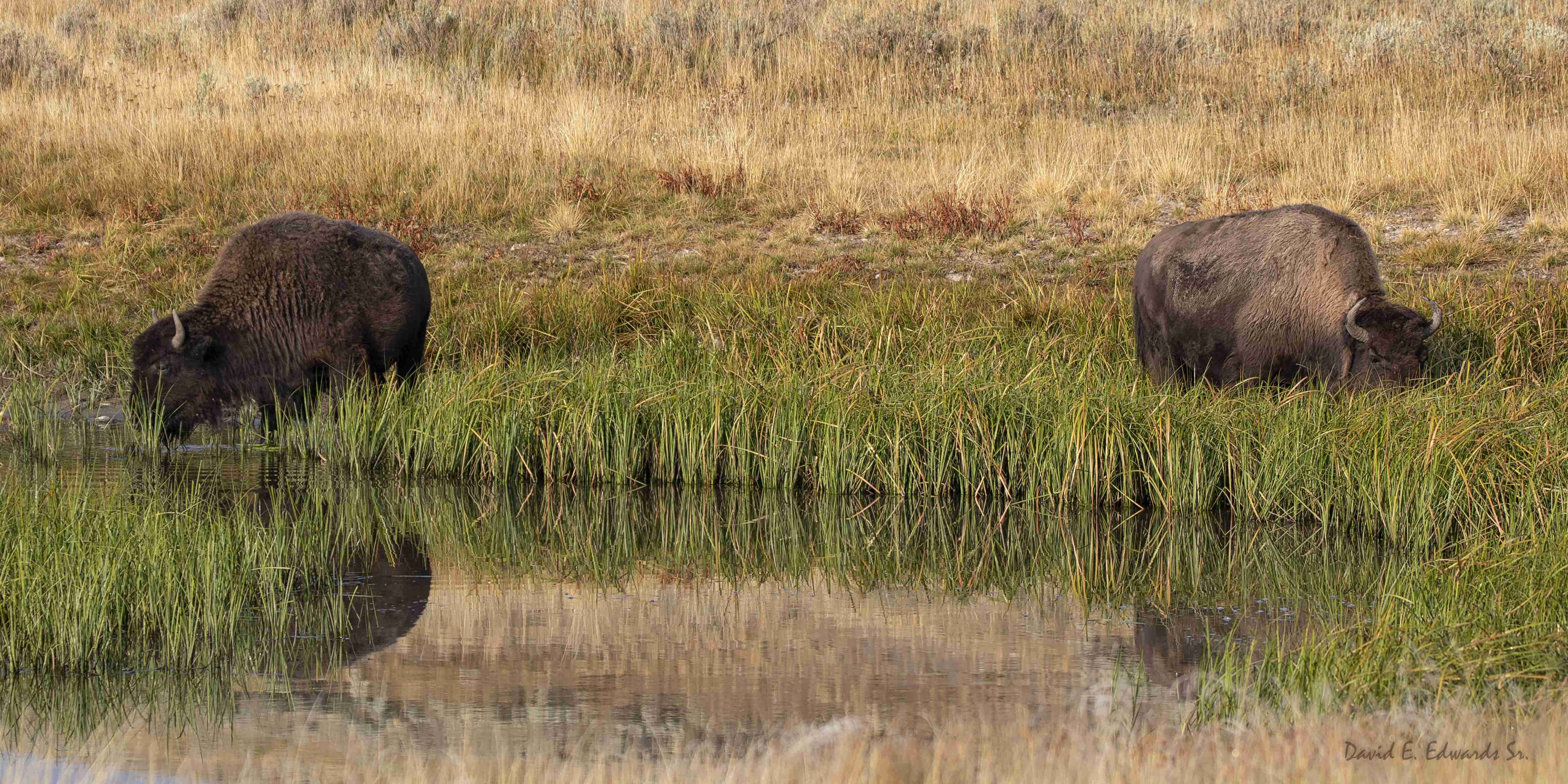 Yellowstone Bison eating at creek with w