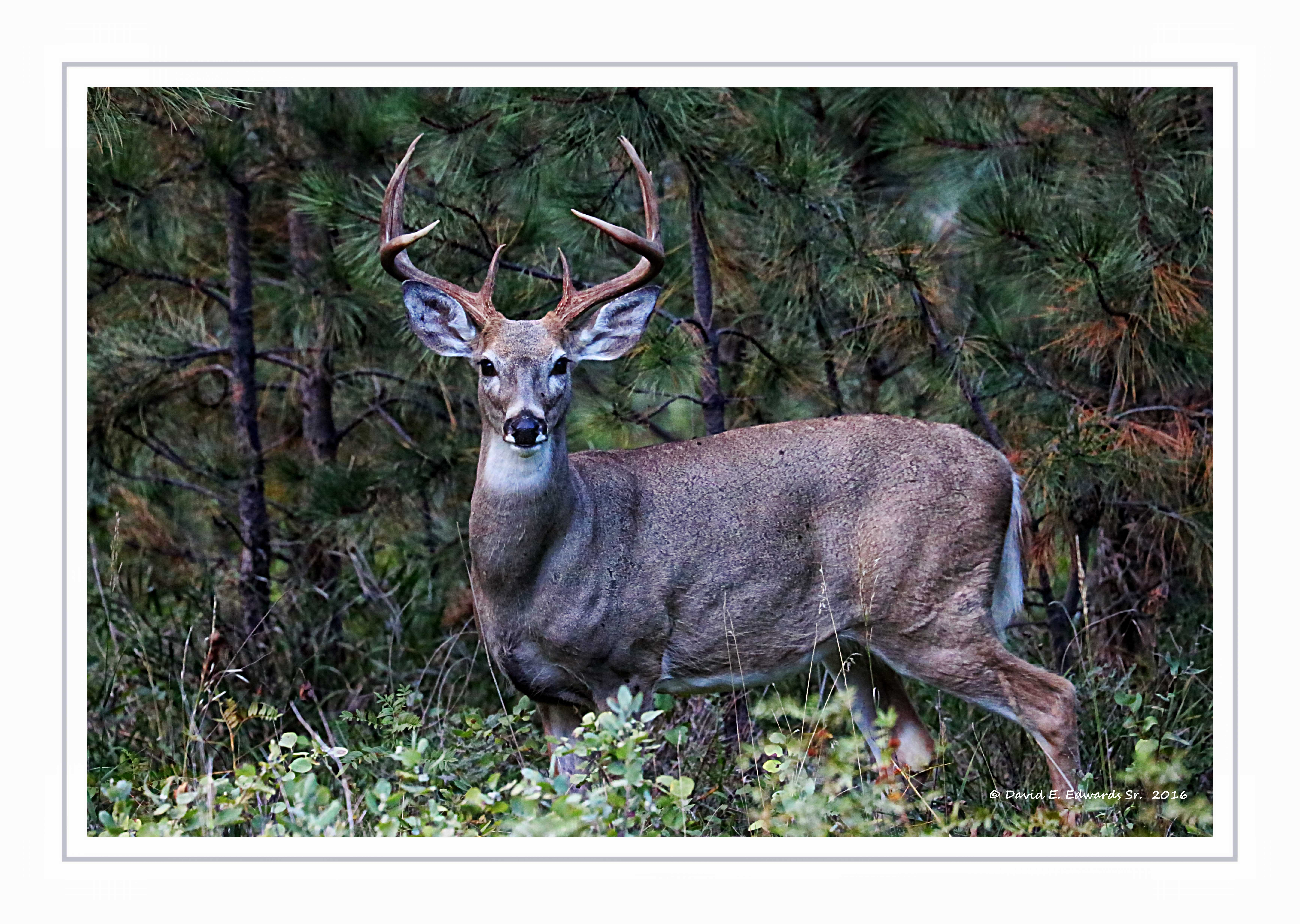 Buck in Custer State Park