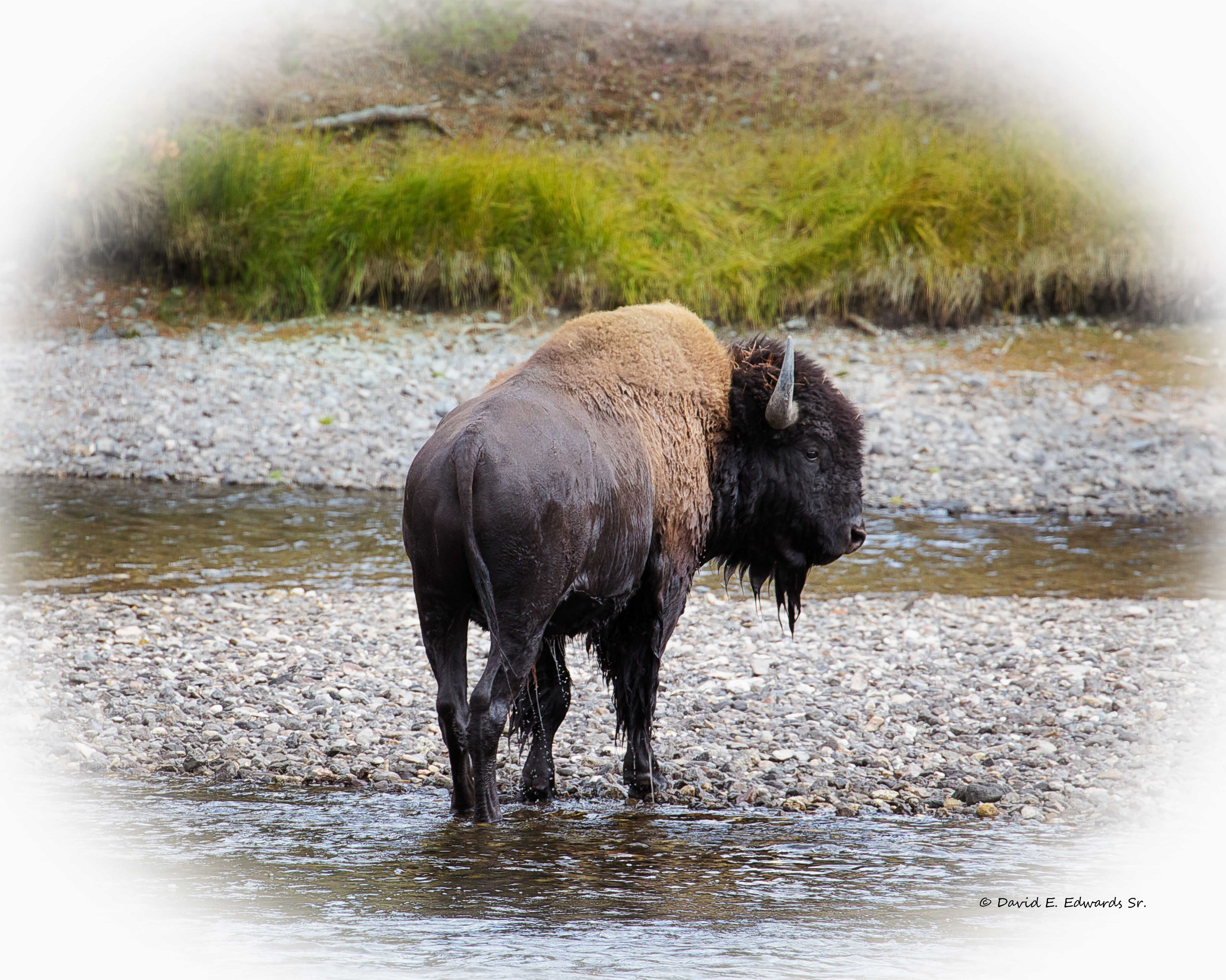 Bison in creek- Yellowstone