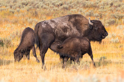 Yellowstone Bison calves and mom