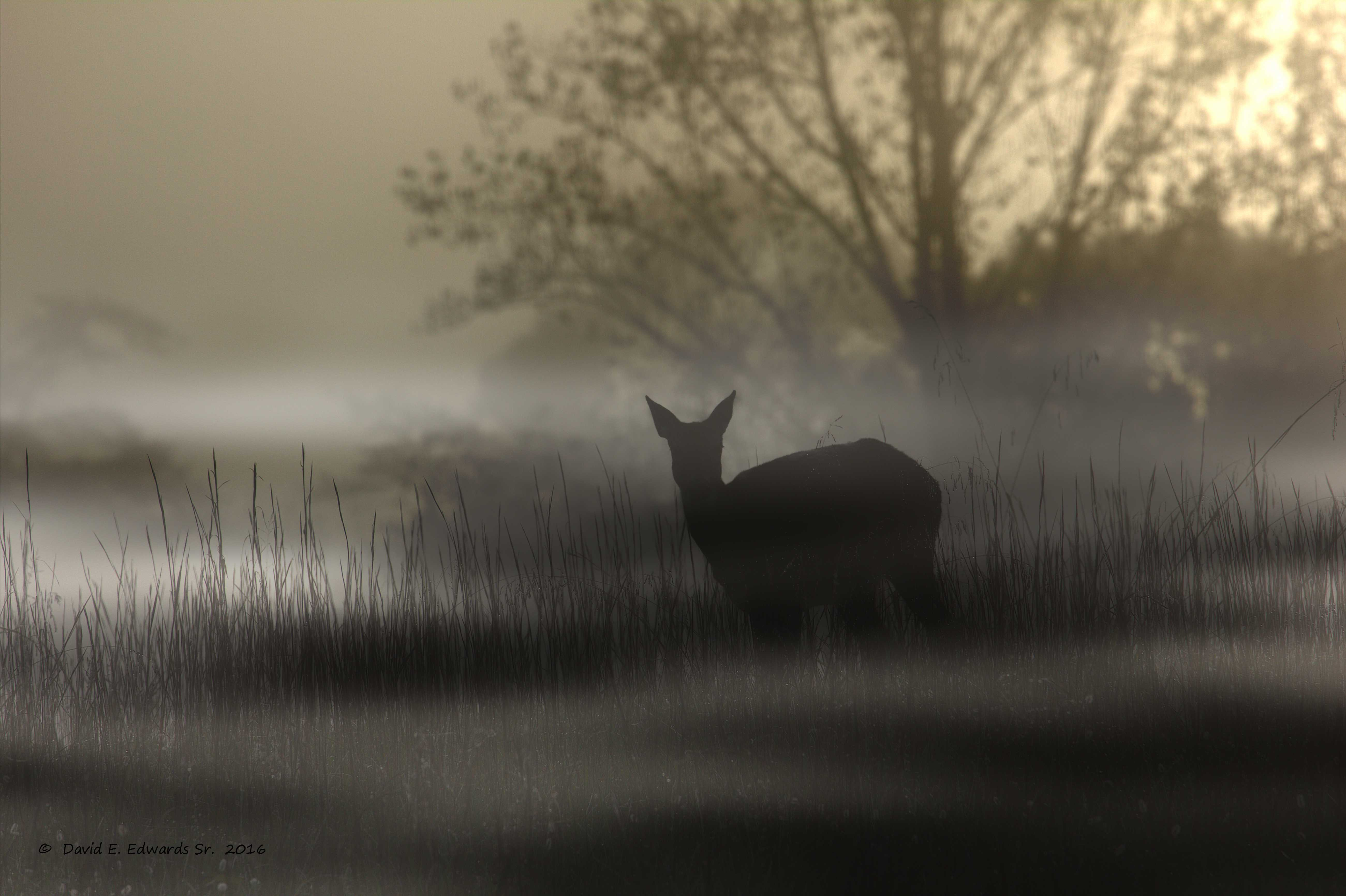 Deer in Cades Cove fog