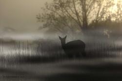 Deer in Cades Cove fog