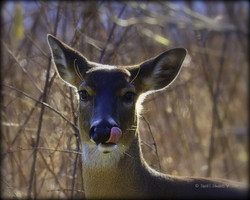 Deer licking lips-  Cades Cove
