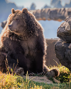 Old Grizzly sitting