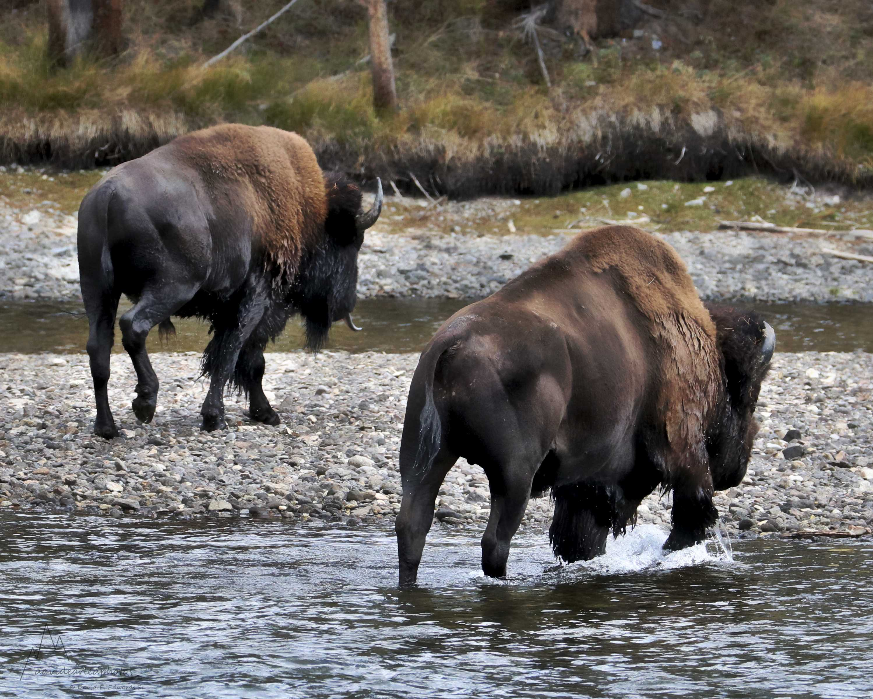 Bison crossing Yellowstone River