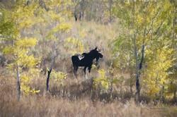 Teton Moose-  Painting effect