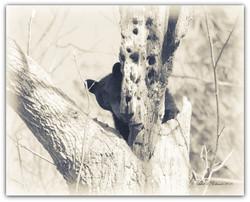 Bear behind tree